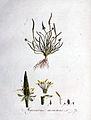 Myosurus minimus — Flora Batava — Volume v1.jpg