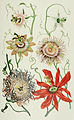 NIE 1905 Passion-flowers.jpg