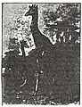 NSRW Giraffe.jpg