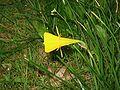 Narcissus bulbocodium close-up2.jpg