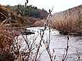 Natural woodlots (Salix gracilistyla) 里山 ねこやなぎ - panoramio.jpg
