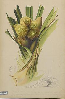 Pandanus - Wikipedia