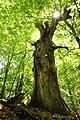 Naturdenkmal Galgeneiche bei Bell.jpg