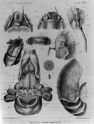 Chambered nautilus - Image: Nautilus pompilius anatomy