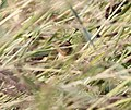 Nelson's Sparrow, McCool's Pond, Indiana, September 29, 2012 (8039553188).jpg