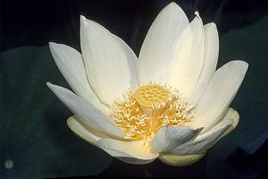 Nelumbo lutea - Image: Nelumbo lutea blossom