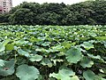 Nelumbo nucifera in north moat of Fukuoka Castle 10.jpg
