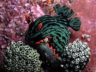 Coral Triangle - Image: Nembrotha kubaryana