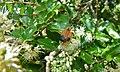 Net-winged Beetles (Lycus sp.) (6021003309).jpg