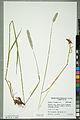 Neuchâtel Herbarium - Alopecurus pratensis - NEU000100158.jpg