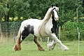 Nice coloured Tinker horse (Irish gypsy horse), walking at Hoge Erf Warnsborn Schaarsbergen - panoramio.jpg