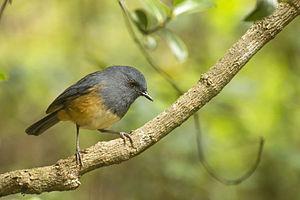 Nilgiri blue robin - Image: Nilgiri Blue Robin
