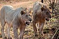 Nkomazi Game Reserve, South Africa (22464867880).jpg