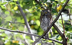 Northern Pygmy Owl - Flickr - GregTheBusker (2).jpg