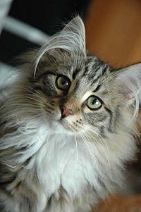 Kot Norweski Leśny Wikipedia Wolna Encyklopedia