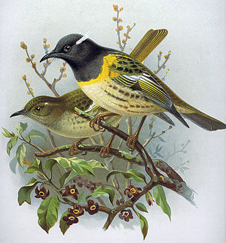 Stitchbird - The extinct North Island subspecies