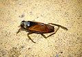 Notonecta glauca (44593530152).jpg