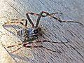 Nuctenea umbratica (Walnut Orb-weaver Spider) male, Giethoorn, the Netherlands - 2.jpg
