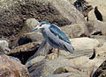 Nycticorax nycticorax Tome Chile.JPG