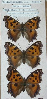 <i>Nymphalis xanthomelas</i> species of butterfly