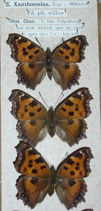 Nymphalis xanthomelas - Image: Nyxana