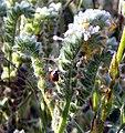 Oakmont Park, Lady Bug On Bottlebrush, Redlands, CA 4-2012 (6941983492).jpg