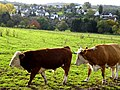 Ochs und Kuh - panoramio.jpg