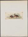 Odontophorus stellatus - 1820-1863 - Print - Iconographia Zoologica - Special Collections University of Amsterdam - UBA01 IZ17100195.tif