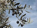 Olea europaea 2830 olives.jpg