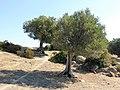 Olivenbäume, Sithonia.jpg