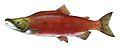 Oncorhynchus nerka.flipped.jpg