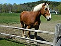 One of the draft horses at Billings Farm. - panoramio.jpg