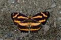 Open wing position of Symbrenthia niphanda Moore, 1872 – Bluetail Jester WLB DSC 0751.jpg