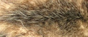 Opossum fur is quite soft, and was once commonly used in the bathtub as a sponge.