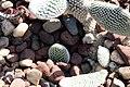 Opuntia microdasys var. albispina 0zz.jpg