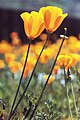 Orange-Yellow Poppies-Lewis Road, Watsonville, Ca 1980 - panoramio.jpg
