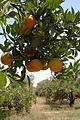 Orangers3 (Souss).JPG