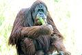 Orangutan 2012.JPG