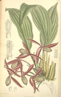 Orchidantha maxillarioides.jpg