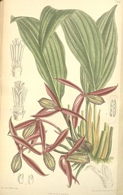 Orchidantha maxillarioides, Illustration