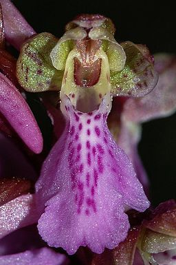 Orchis-spitzelii-mgk-5