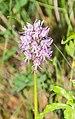 Orchis italica in Lozere (9).jpg