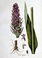 Orchis latifolia — Flora Batava — Volume v1.jpg