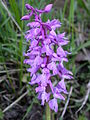 Orchis mascula ormancon st-joire 01052005 2.JPG