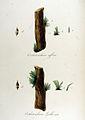 Orthotrichum affine — Flora Batava — Volume v12.jpg