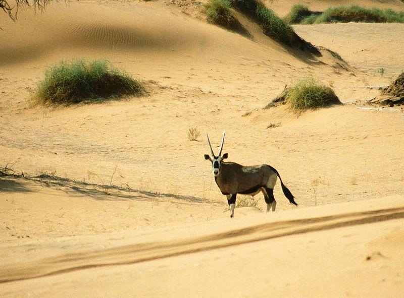 Ficheiro:Oryx Gazella Namib Desert.jpg