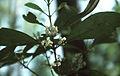 Osmanthus americanus flowers.jpg