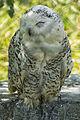 Owl (9007435759).jpg