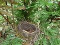 Périgueux nid de merle (1).JPG