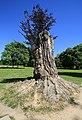 Pücklersche Blutbuche Muskau-Park Bad Muskau... 2H1A1286WI.jpg
